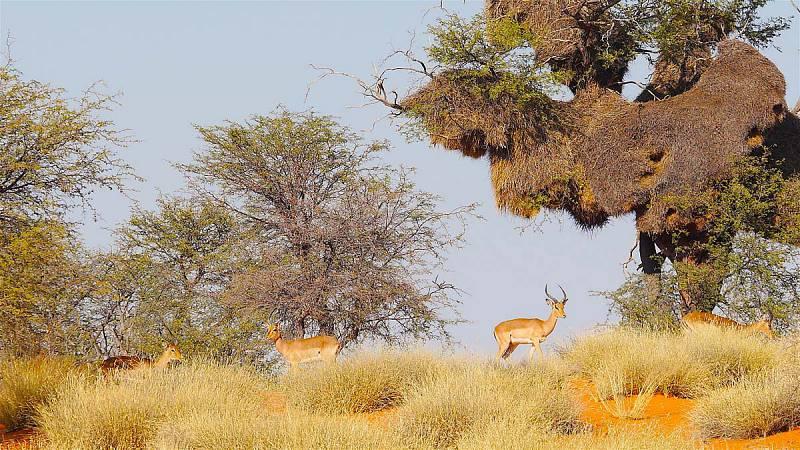 Red Kalahari